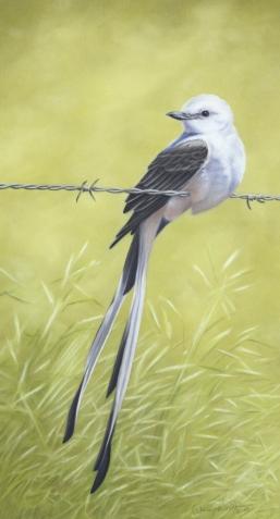 Scissor-tailed-Flycatcher